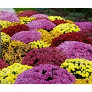 Flori - crizanteme mix i146