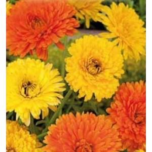 Flori - galbenele (calendula doppia mix)