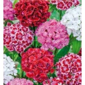 Flori - garofite de gradina mix l564
