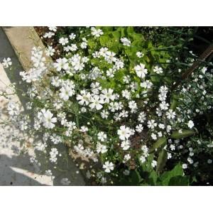 Flori - floarea miresei y668