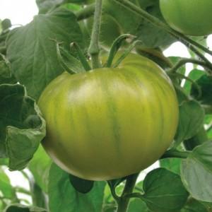 Seminte tomate verzi smarald